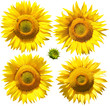Flowers of sunflower, isolated on white