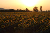 Sunflowers field on Sunset