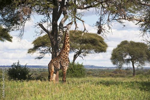 Fotobehang Antilope Giraffe