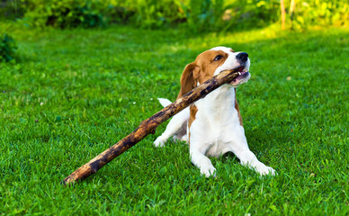 dog plays with a stick