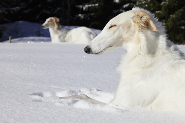 borzoi dogs, sight-hounds in snowy winterland