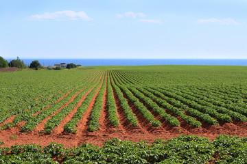 Prince Edward Island potato field