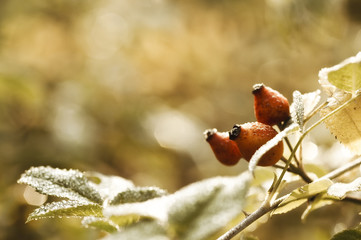 dewy rosehip in the autumn