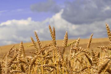 Sommerliches Getreidefeld