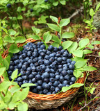 Fototapety fresh blueberries in a basket