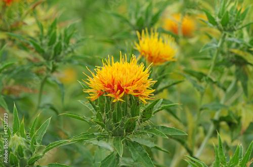 紅花 ‐Safflower‐