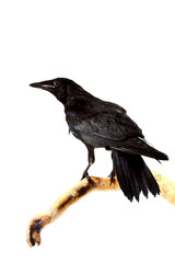 Bird rook