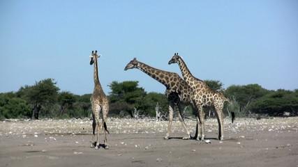 Giraffen im Etoscha Nationalpark