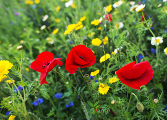 Poppies in a field in summer