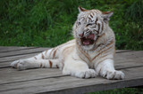 White Tiger Shows His Teeth
