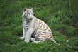 White Tiger Sitting In Grass