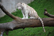 White Tiger Sitting On a Tree