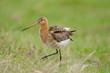 canvas print picture - Uferschnepfe, Black-tailed godwit, Limosa limosa