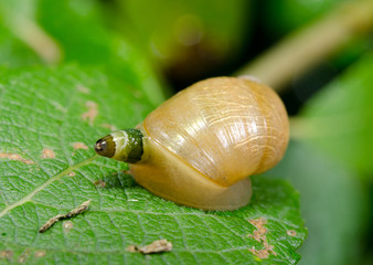 common amber snail as host of parasite L.Paradoxum