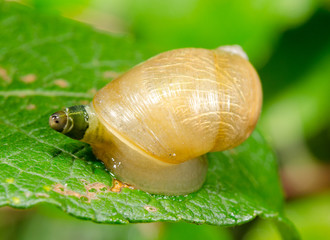 common amber snail as host of parasite, crippled eye