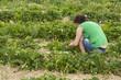 Women in a strawberrie field