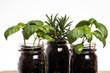 Three herb plants in mason jars