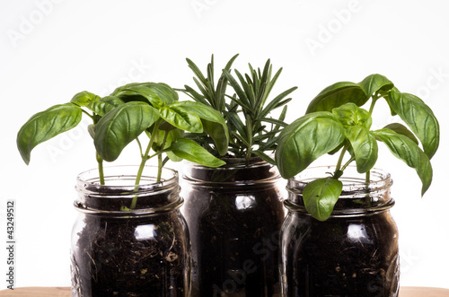 Three herb plants in mason jars