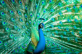 Fototapety Portrait of peacock with feathers out