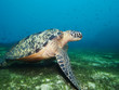 Turtle on seaweed bottom