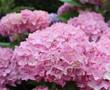 Fleurs rose de hortensia