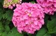 Fleur sphérique de hortensia rose