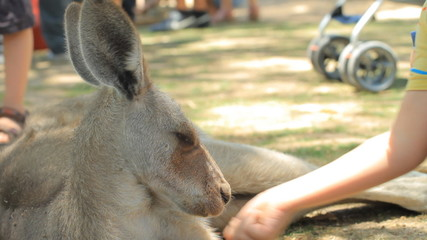 Child feeding a kangaroo in Gan Guru in Israel