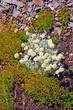 Tundra Plants on a scree slope
