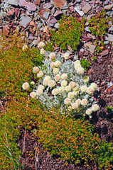 Tundra Plants on a scree slope