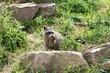 Fressendes Waschbärbaby im Tierpark Sababurg