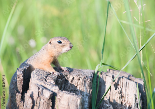 European ground squirrel (spermophilus citellus, suslik)