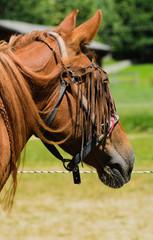 Cavallo da galoppo