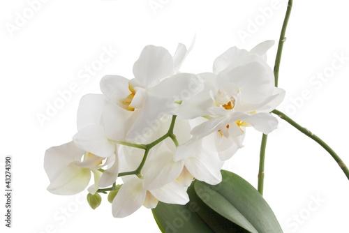 Fototapeten,orchidee,weiß,blume,pflanze