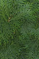 Textur aus Zweigen von dunklen Koniferen