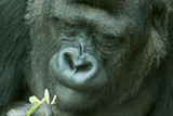 low land gorilla 6692