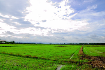 Rice field from Thailand
