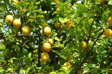 Lemon close up