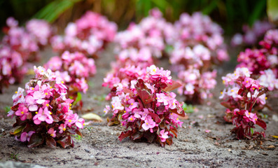 pink begonia flower plants