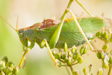 katydid, Green Bush-cricket  (Tettigonia cantans) on a flower
