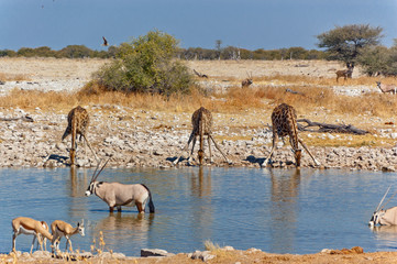Giraffes at waterhole. African wildlife reserve, Etosha, Namibia