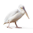 Potrait Of A Pelican