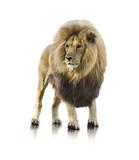 Portrait Of A Lion Standing