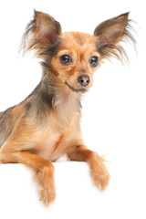 Russian long-haired toy terrier on isolated white