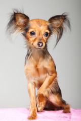 Russian long-haired toy terrier on pink pillow