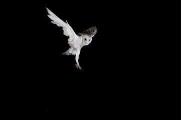 Barbagianni in volo, Barn owl, Tyto alba