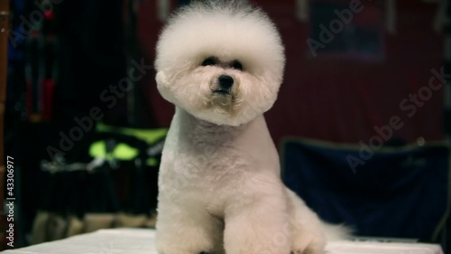 little white Bichon Frise