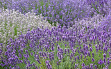 Fototapety Variety of Lavender Flowers Background