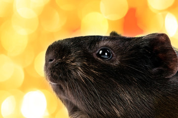 brown cavy