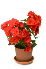 One red blossoming begonia