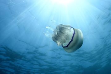 Rhizostoma Pulmo Jellyfish and sun rays